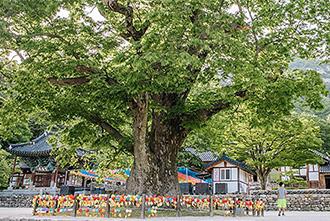 [부안] 내소사 전나무숲길